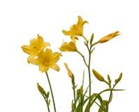 Bush yellow Daylily (hemerocallis) on a white background Royalty Free Stock Photo