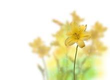 Bush yellow Daylily (hemerocallis) on a white background Stock Photo
