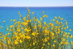 Bush with yellow flowers against the sea Stock Photo