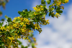 Bush with yellow flowers background Royalty Free Stock Photo