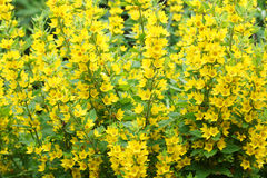 Bush with yellow flowers Royalty Free Stock Photos
