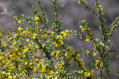 Bush with yellow flowers. Shallow depth of field. tinted.  Royalty Free Stock Image