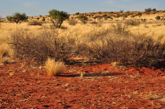 Bush and yellow grass, kalahari. Bush and yellow grass on red sand on dunes in namibian desert Royalty Free Stock Photography