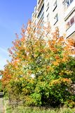 Bush with yellow leaves on the background of a multi-storey building royalty free stock image