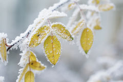 Bush yellow leaves covered with rime Royalty Free Stock Images