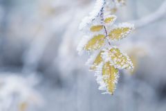 Bush yellow leaves covered with rime Stock Images