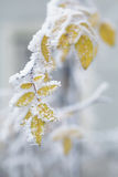 Bush yellow leaves covered with rime Stock Photo