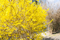 Bush with yellow leaves Stock Images