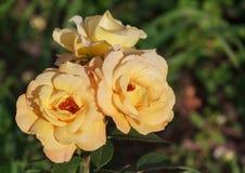 Bush yellow roses close-up Royalty Free Stock Photos