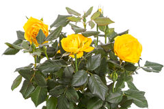 Bush yellow roses Royalty Free Stock Images