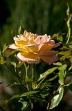 Bush of yellow roses Royalty Free Stock Photos