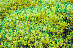 Bush with yellow small flowers Royalty Free Stock Photography