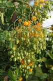 Bush yellow tomatoes Stock Photos