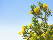 A Bush of yellow tropical flowers against blue sky. In summer outdoor stock photos
