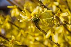 Bush yellows of yellow spring Royalty Free Stock Photos