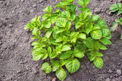 Bush young green potatoes in the garden. Stock Image