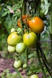 Bush z świeżymi pomidorami w szklarni Obrazy Royalty Free
