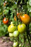Bush z świeżymi pomidorami w szklarni Zdjęcie Royalty Free