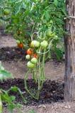 Bush z świeżymi pomidorami w szklarni Obraz Royalty Free
