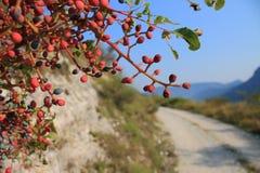 Bush z czerwonymi jagodami Zdjęcie Stock