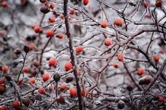 Bush z jagodami dziki wzrastał w lodzie Obraz Stock