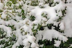 Bush Zakrywał Świeżym Spadać śniegiem obraz stock