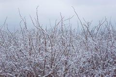 Bush zakrywał z pierwszy śniegiem Obraz Royalty Free