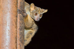 Bushbaby, Senegal Galago, Meru National Park, Kenya. A Senegal Galano, commonly known as a Bushbaby, hanging on to a wooden post with human-looking fingers Royalty Free Stock Image