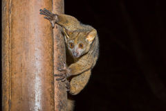 Bushbaby, Senegal Galago, Meru National Park, Kenya. A Senegal Galano, commonly known as a Bushbaby, hanging on to a wooden post with human-looking fingers Stock Images