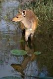 Bushbok dans l'eau photos libres de droits