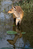Bushbok en agua fotos de archivo libres de regalías