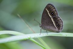 Bushbrown Butterfly, Iriomote Island, Japan. A Bushbrown butterfly ( Mycalesis ) sitting on a leaf in a tropical rainforest, Iriomote Island, Okinawa Prefecture Stock Image