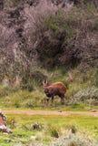 Bushbuck темного коричневого цвета на краю леса Aberdare, Кении стоковые изображения rf