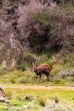 Bushbuck темного коричневого цвета на краю леса Aberdare, Кении стоковое изображение rf