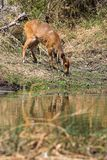 Bushbuck Stockfotos