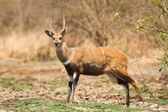 bushbuck Стоковые Фото