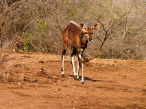 Bushbuck Royalty Free Stock Photos