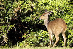 Bushbuck. A full length view of a Bushbuck, Tsitsikamma National Park Stock Photography
