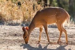 Bushbuck royaltyfri fotografi