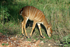 Bushbuck Foto de Stock Royalty Free