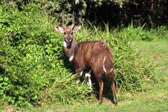 Bushbuck fotografia stock