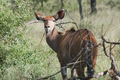 bushbuck στοκ εικόνες