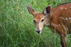 Bushbuck (African Deer) Doe. A beautiful female bushbuck takes a break from grazing Stock Images