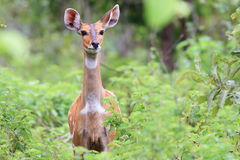 Bushbuck alerta en el parque nacional del topo, Ghana Fotografía de archivo libre de regalías