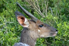 Bushbuck Antelope Royalty Free Stock Photos
