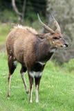 Bushbuck Antelope Stock Image