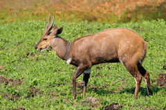 Bushbuck antelope Stock Photo