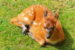 Bushbuck Antelope Stock Images