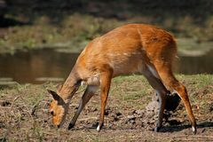 Bushbuck antelope Stock Photography