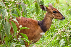 Bushbuck antelope with fly around his head Royalty Free Stock Images